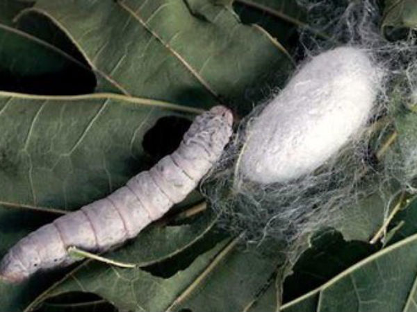 Silk worm and cocoon