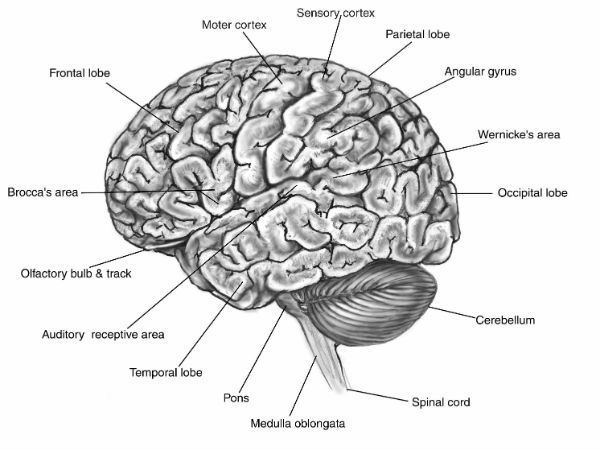 Online course on Human Neuroanatomy