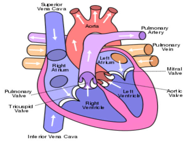 Human Heart And Functioning